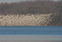 Geese Polygon 1400 (danaman) Tags: snowgeese merrillcreekreservoir