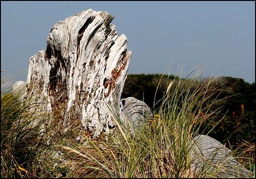 Bandon Driftwood