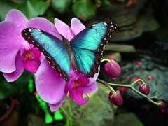 Blue Morpho (khasan) Tags: blue arizona gardens america butterfly mexico botanical tucson magic columbia latin morpho