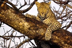 Leopard in tree - by Arno & Louise