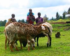 kids and goats (LindsayStark) Tags: africa travel people animals children war rwanda goats humanrights genocide humanitarian humanitarianaid postconflict waraffected conflictaffected