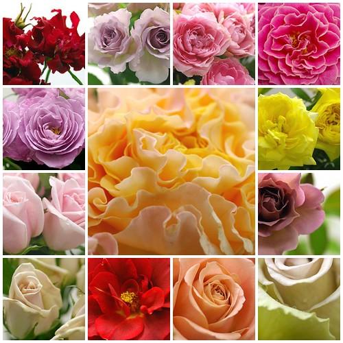 rose!rose!rose!