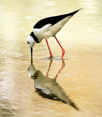 Poaka or Pied Stilt (f0rbe5) Tags: newzealand orange white black hot bird nature topf25 water wow hotwater 350d rotorua flat lovely1 2006 100v10f northisland pan geology pied geothermal aotearoa stilt waiotapu watcher frying leucocephalus piedstilt awesomenature specnature 35faves poaka 25faves specanimal specanimalphotooftheday fryingpanflat himanotopus naturewatcher distinguishedbird himanotopusleucocephalus