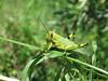 Tucura (jorsaria) Tags: naturaleza verde argentina rio fauna bug rosario parana isla bicho tucura