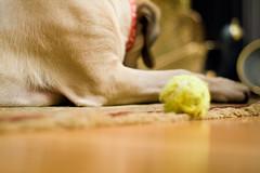 _MG_5346.jpg (ocean yamaha) Tags: dogs englishmastiff fiona