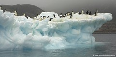 Adele Penguins (nick_russill) Tags: ice water penguin frozen antarctica pack freeze iceberg icebergs antarctic