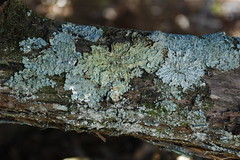 Lichen on Branch, Woodfield Inn