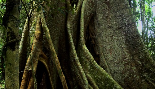 Hollow Strangler Fig