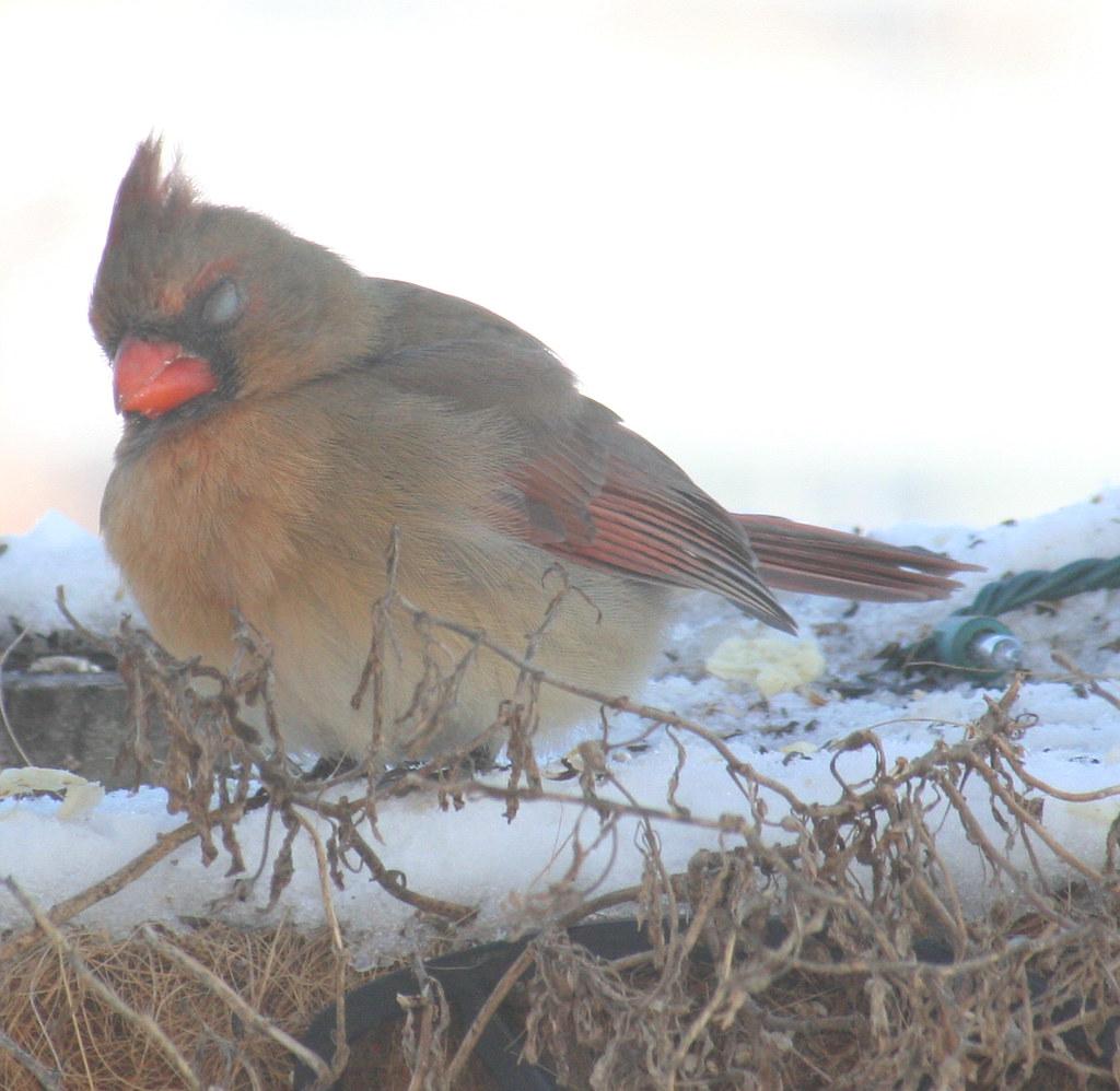 female cardinal one-eye 03