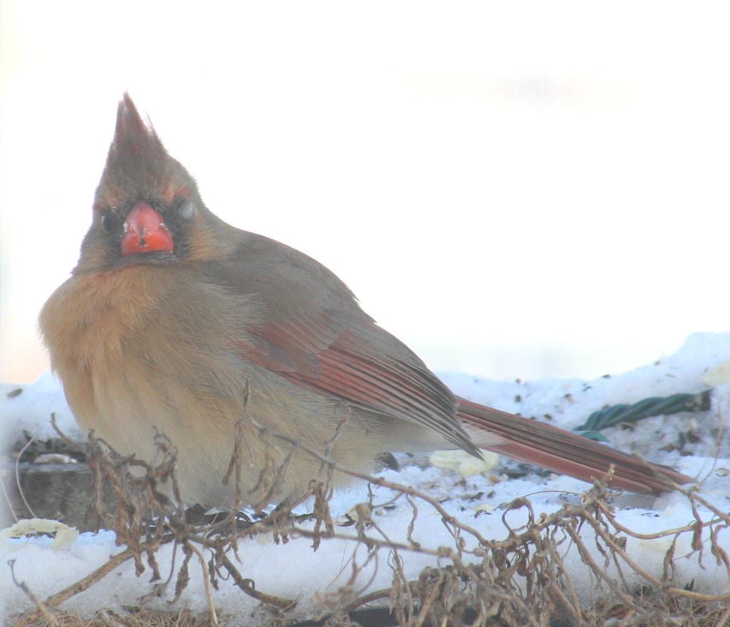 female cardinal one-eye 04