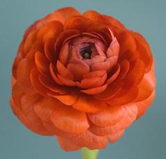 ranunculus (damien jay) Tags: flowers ranunculus