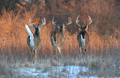 White Tails In The Sunset (Hard-Rain) Tags: trees winter sunset snow game tree animals forest illinois woods hiking wildlife hunting hike deer antlers rack buck naperville mountainbiking mammals stalk mammalia hunt whitetail deerhunting whitetailed whitetaileddeer odocoileus odocoileusvirginianus napervilleillinois cervidae chordata 8point artiodactyla specanimal explore20 springbrookprairie