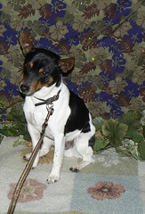Hidalgo the Rat Terrier