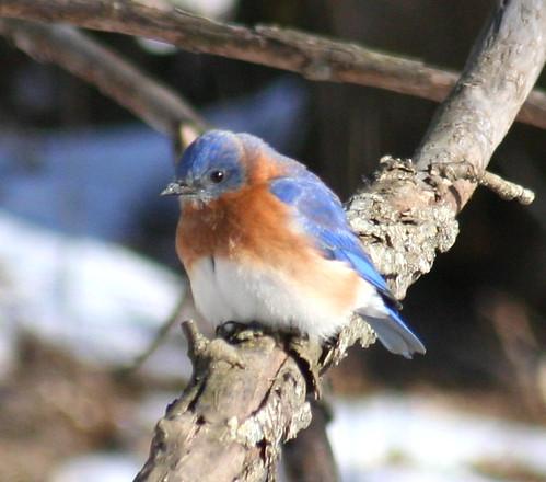 eastern bluebird 02