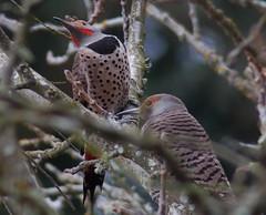 Flickers on Flickr (shrinkette) Tags: birds mating ritual flicker courtship