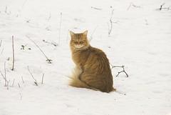 cat d200 creamsicles oreengeness bestofcats impressedbeauty