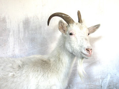 Uros Petrovic - Goat (Uros Petrovic) Tags: white uros animal beard foto photos serbia goat best collection goats 100 belgrade thorns beograd petrovic srbija impressedbeauty