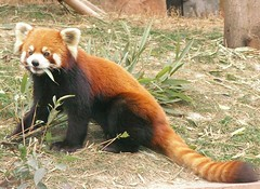 red panda (Rex Pe) Tags: china animals wildlife redpanda chengdu sichuan zooanimals pandaresearchcenter