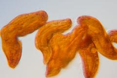 orange Holosticha? oblique - by nebarnix