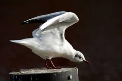 Seagull/ Seemwe (Otmar Smit) Tags: nature birds animal germany ilovenature wildlife 2007 eastfrisia animalkingdomelite