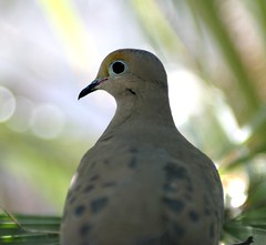 another Dove in our backyard (Mourning Dove - Zenaida macrourna) - by Bruce Tuten