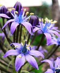 Blue crowns (reallyreallyrosie) Tags: flowers blue macro closeup lumix fz20 cornwall dof purple bokeh centre edenproject center panasonic devon stamen crown eden upclose reallyreallyrosie paulawakeham pdpnw