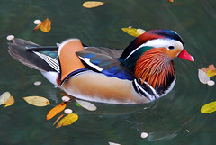 Mandarin Duck (Aix galericulata) (ozoni11) Tags: bird nature birds animal animals duck nikon asia ducks mandarinduck waterfowl mandarinducks interestingness380 animaladdiction animalkingdomelite ozoni11