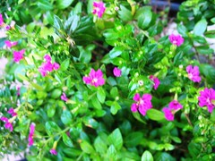 Mexican Heather with deep pink blooms