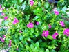 Cuphea hyssopifolia (Mexican Heather, False Heather)