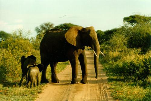 Tembo in Tarangire
