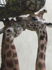 I love you (budulbuc) Tags: nature animaux girafe