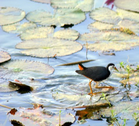 White-breasted waterhen walking on Lily Pads Lalbagh 7 Mar 07