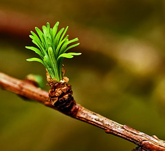 larch burst  --  Come on Spring. (algo) Tags: england tree photography interestingness spring topf50 bravo topv1111 chilterns explore twig buds algo larch topf100 conifer magicdonkey explore21 tov999 abigfave 200750plusfaves superbmasterpiece