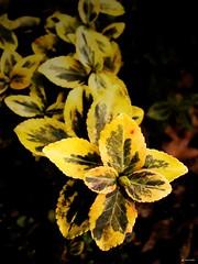Blossom (Gert van Duinen) Tags: plant flower garden spring digitalart drop hottentot naturesfinest dutchartist abigfave superbmasterpiece gertvanduinen