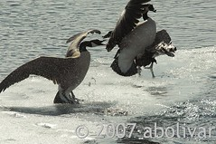 Geese fighting Oxbow Bend Grand Teton National Park (albolivarphoto) Tags: park bird ice birds animal animals photography geese photo nationalpark foto image retrato picture pic goose fotografia fighting teton grandteton imagen oxbowbend tetonnationalpark albolivarphoto albolivarcom httpflickrcomphotosalbolivarphoto wwwalbolivarcom httpwwwalbolivarcom