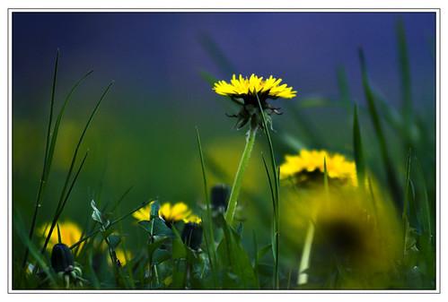 Thêm một chút cho hoa Bồ Công Anh - By Boong Boong - Yahoo 360! 430059617_49ab35dba4
