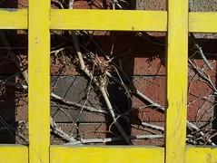 Vines (Sandra Regina) Tags: wood red brick yellow vines guelph sandraregina