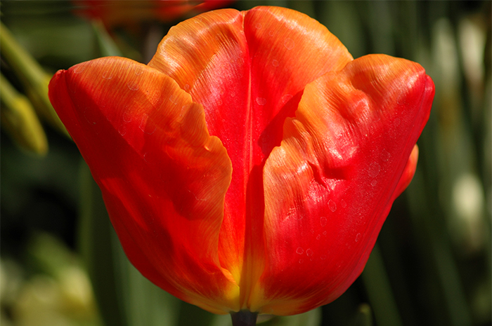 Tulip :: Click for previous photo