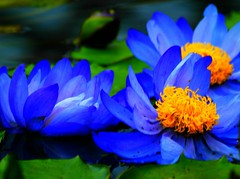 lotus in heaven (M. TANIGUCHI) Tags: blue flower water yellow japan waterlily kobe kachoen instantfave diamondclassphotographer flickrdiamond topogigio2007