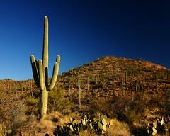 Saguaro First Light (Brian Knott Photography) Tags: park arizona cactus sunrise desert national sagurao brianknott forgetmeknottphotography fmkphoto