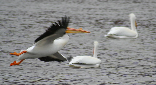 white pelican flying and turning
