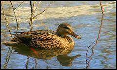 (andrewlee1967) Tags: uk england duck bravo andrewlee supershot magicdonkey featheryfriday specanimal abigfave canon400d andrewlee1967 anawesomeshot avianexcellence andylee1967 focusman5