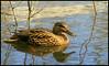 (andrewlee1967) Tags: duck andrewlee1967 uk abigfave featheryfriday avianexcellence supershot specanimal magicdonkey bravo andylee1967 canon400d focusman5 england andrewlee anawesomeshot
