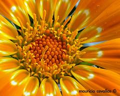 THE SUN (mauricio cevallos www.mauriciocevallos.com) Tags: bravo gazania excellence abigfave anawesomeshot colorphotoaward impressedbeauty flickrdiamond