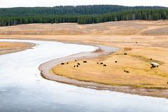 Yellowstone 18 ([Katsumi]) Tags: vscofilm04 yellowstone canon6d canon24105mmf4l outdoors exploring explore travel wyoming wildlife animal mammal bison buffalo river water plains