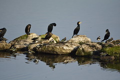 Anglers Country Park (415) (rs1979) Tags: anglerscountrypark wintersett ryhill walton wakefield westyorkshire yorkshire birdhide cormorant cormorants lapwing lapwings