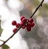 Berries (katrinchen59) Tags: berries ilex natuer redberries season macro macrophotography