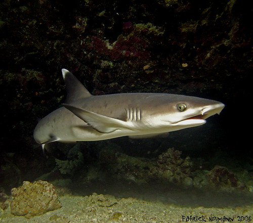 Baby Whitetip Reef Shark at St Johns Wood, Red Sea