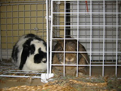 Bunnies on Christmas Morning (Pet Menagerie) Tags: cute bunnies lopear clarence lillian theyaretotallymessingwithme