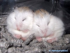 Pea- Balls!!! (hamsterunited) Tags: pet cute animal furry hamster roborovski dwarfhamster roborovskii interestingness402 i500